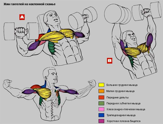 Накачать грудные мышцы. Бодибилдинг и фитнес. Жим гантелей на скамье с на